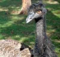 Emu bird in zoo