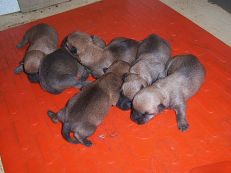 newborn litter of puppies on a red head pad
