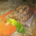 Sulcata Tortoise Heating Pad