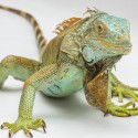 Iguana Exotic Pet Supplies