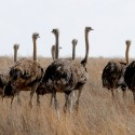 ostriches in field - Equipment for Animal Sanctuaries