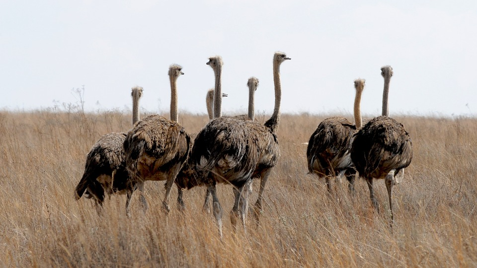 ostriches in field